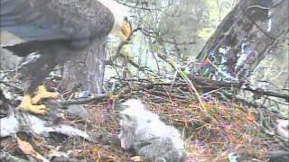 Video shows how large the Harrison Bay Eagle Cam Project eaglets of 2013 feet are and how much they have grown in just 2 weeks.