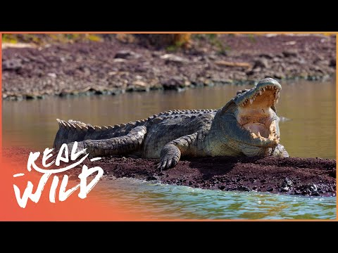 A Crocodiles Fight For Survival (Wildlife Documentary) | The Predator's Bay | Real Wild