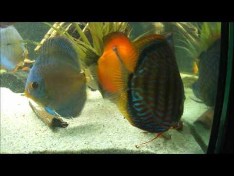 Discus attack prawn