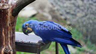 BEAUTIFUL HYACINTH MACAW ANODORHYNCHUS HYACINTHINUS EATS SEEDS WITH SMALL BIRDS BO8AUONWX