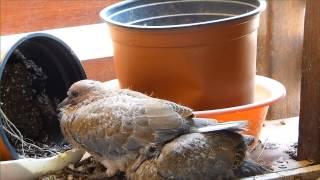 תיעוד בן 15 ימי צילום: צפו בצוצלת מרגע הבקיעה מהביצה ועד לעזיבת הקן