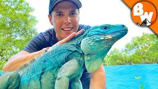 Blue Iguana Fights Extinction and Wins! by Brave Wilderness
