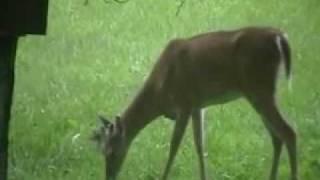 deer eating a bird