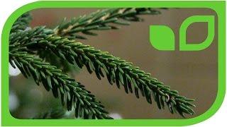 Die orientalische Goldfichte - Picea orientalis aurea