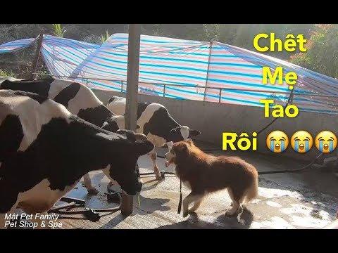 Mật chui vào Chuồng Bò Đòi Cân Cả Team Bò Sữa và cái kết hèn hạ cười quỳ lạy Mật Pet Family - Thời lượng: 10 phút.
