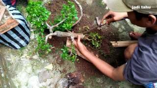 Video PECAH BATANG BONSAI_Trik Sederhana Memperbesar Pangkal Batang Bonsai Serut Sedang. MP3, 3GP, MP4, WEBM, AVI, FLV Juli 2018