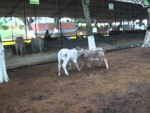 FERIA DE LA GANADERIA MONTERIA 2011 - 2