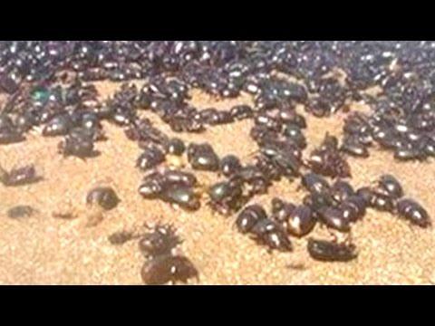 la fine del mondo? invasione di scarafaggi nelle spiagge di buenos aires