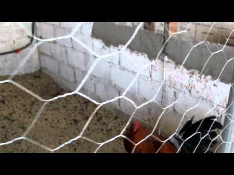 Granja Sav de Chihuahua, donde se crian gallos bulicos