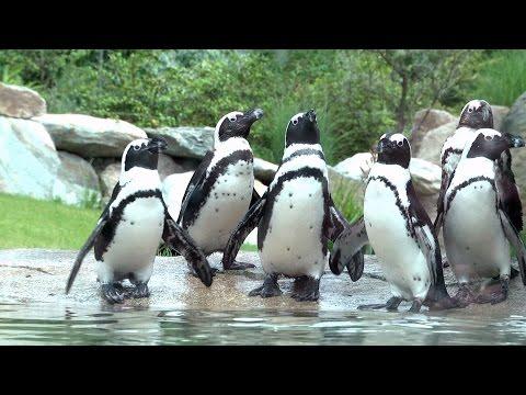 Kronberg: Opel-Zoo - Opel-Zoo eröffnet neue Pinguin-Anlage