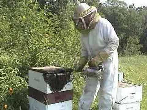 bees - DVD: http://hilaroad.com/video/ The life cycle of a honey bee is presented as an example of complete metamorphosis, the development of an insect from egg to ...