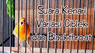 SUARA BURUNG | Suara Kenari Variasi Ciblek dan Blackthroat