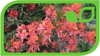Rhododendrum luteum Tunis
