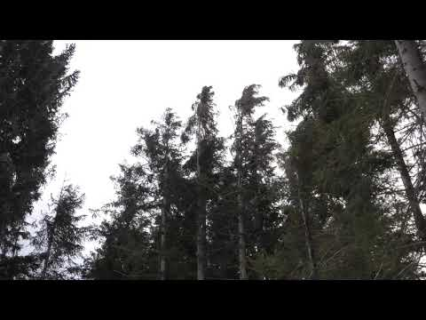 Strong Howling Wind Sound 2 Hours / Swaying Spruce Trees in The Wind