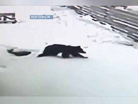 Югорск.Медведь  на зеленой зоне на выходных в конце января.2018 год