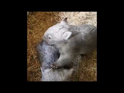 Wombat Joey May Be Orphaned, But Will Never Stop Dancing