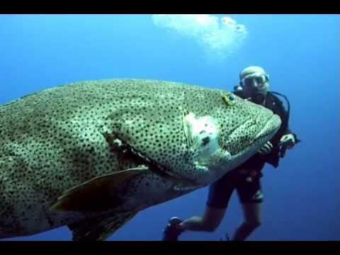 океанический окунь чуть не съел человека видео