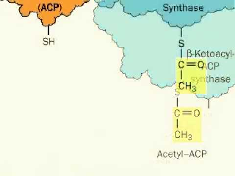 Fatty acid synthesis ( from acetyl-CoA and malonyl-CoA precursors)