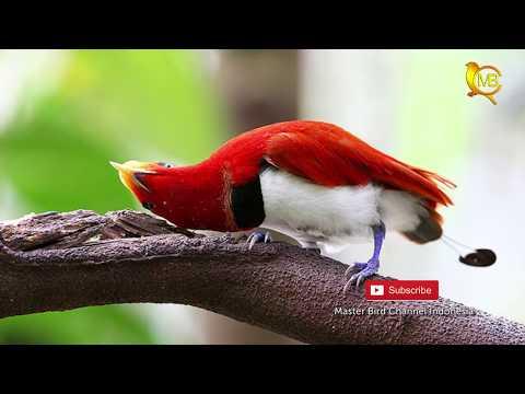 Download Video BURUNG-BURUNG CANTIK DARI INDONESIA TIMUR