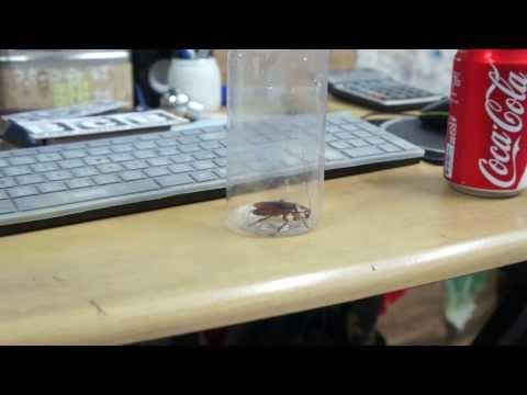 原來蟑螂的天敵...就是可樂...