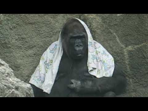 上野動物園のゴリラのピーコ、49歳 Pieko