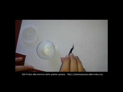 piante succulente - tutorial dal frutto alla semina