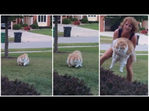Funny Fat Cat running from owner and Alan's Laugh