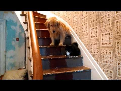 Što je strah: Golden tek uz pomoć njemačkog ovčara prošao kraj mačke (VIDEO)