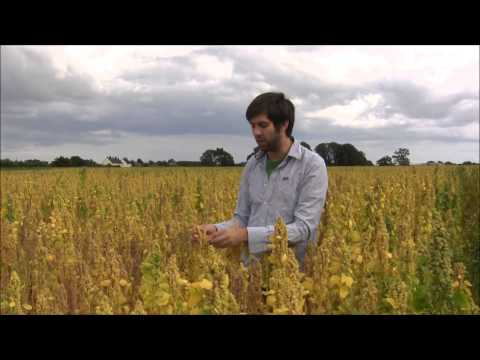 British Quinoa - 4th August 2014