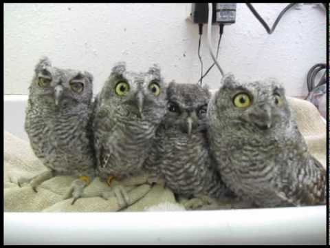 owl - These orphaned Screech Owls are being weighed in WildCare's Wildlife Hospital. They will stay in care until they're old enough to be released back into the w...