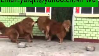 Nonton Tibetan Mastiff breeding   /Tibetan Mastiff  fight Film Subtitle Indonesia Streaming Movie Download