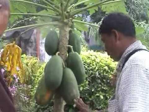 การตอนมะละกอ