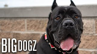 Cane Corsos - The $10,000 Dogs Of War   BIG DOGZ by Barcroft Animals