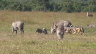 Video Black-backed jackals hunting warthog piglets MP3, 3GP, MP4, WEBM, AVI, FLV Agustus 2019
