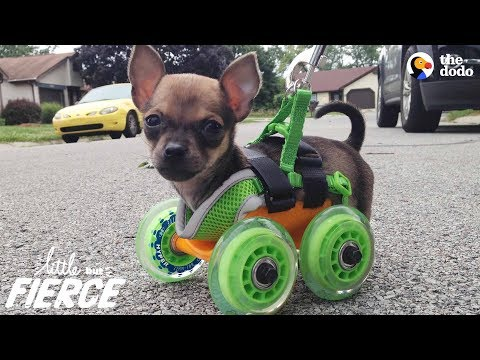 This Tiny Pup Zooms Happily On His Little Wheels