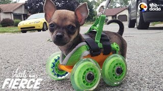 Video Tiniest Puppy Loves To Race Around On His Wheels | The Dodo Little But Fierce MP3, 3GP, MP4, WEBM, AVI, FLV Maret 2019