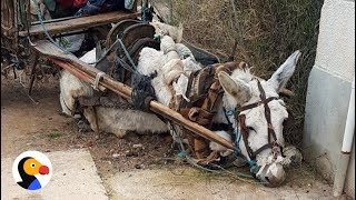 Donkey Dying of Exhaustion Rescued After Petition Saves His Life | The Dodo