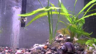 All Apple snails in tank. From egg to adult