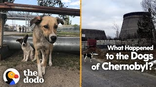 What Happened to the Dogs of Chernobyl? | The Dodo by The Dodo
