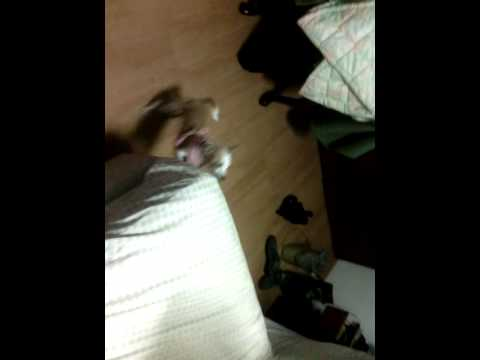 Chihuahua barking to bed sheet