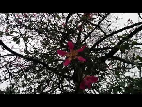 flor palo borracho