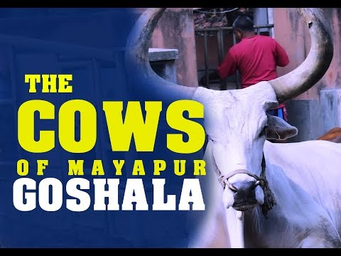 Happy Home for Krishna's Cows-Video