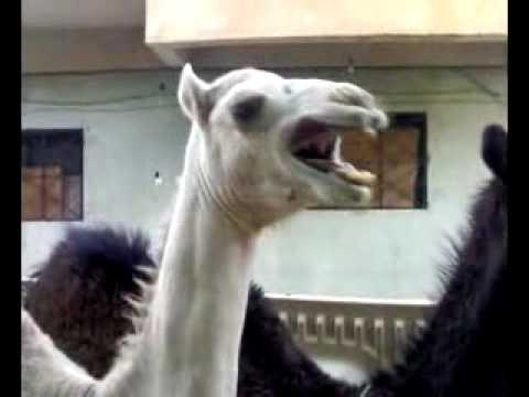 LOL Camel