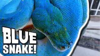 A REAL BLUE TREE SNAKE!!! Brian Barczyk by Brian Barczyk