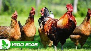 Cách chăm sóc đàn gà khỏe, lông đẹp và mượt