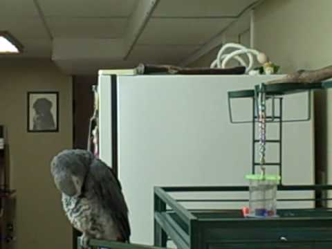 Mike the African Grey sings I Kissed a Girl