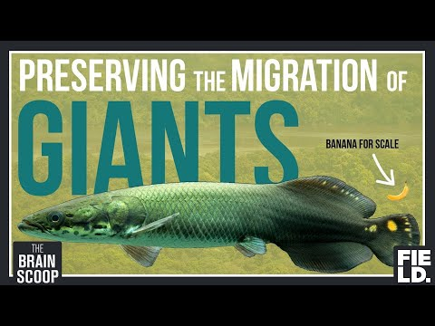 Preserving the Migration of Giants: Guyana's Arapaima