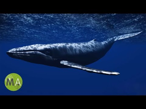 Underwater Whale Sounds - Full 60 Minute Ambient Soundscape