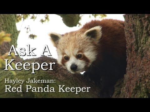 jimvwmoss - Our expert keeper Hayley Jakeman answers your questions about red pandas in the latest episode of our Ask A Keeper series. http://www.zsl.org.