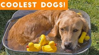 Video Dog Days of Summer Coolest Dogs of 2018 | Funny Pet Videos MP3, 3GP, MP4, WEBM, AVI, FLV Januari 2019